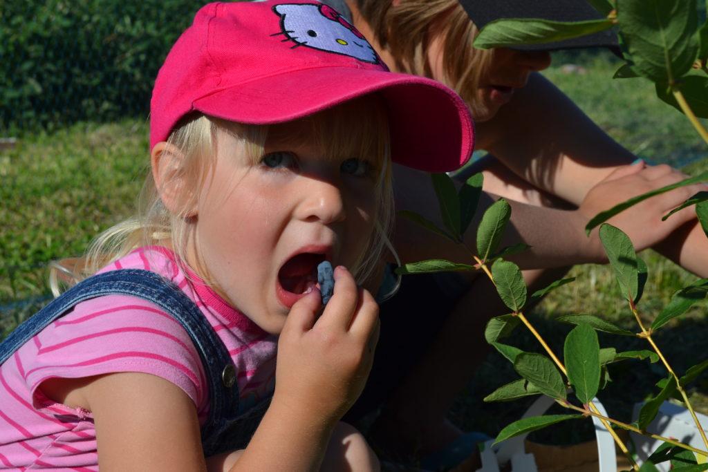 Eating a Haskap berry