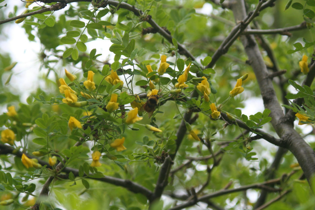 (Caragana - Siberian Pea Tree)